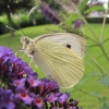 Are White Butterflies Messages and Signs of Love?